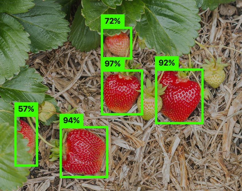 ripe-and-unrip-strawberry-labeling.jpg